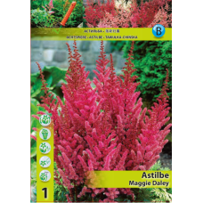 Astilbe Maggie Daley (x1). SOLD OUT!