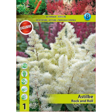 Astilbe Rock and Roll (x1). SOLD OUT!