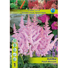 Astilbe Peach Blossom (x1). SOLD OUT!
