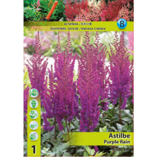Astilbe Purple Rain (x1). SOLD OUT!