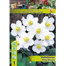 Helleborus White Beauty, Christmas rose (x1) SALE - 70%!