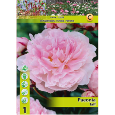 Paeonia Taff (x1). SOLD OUT!