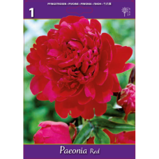 Paeonia Red (x1). SOLD OUT!