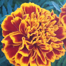 Tagetes patula, French Marigolds 'Chica™Flame'