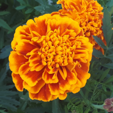 Tagetes patula 'Bonanza™ Harmony', French Marigold