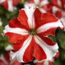 Petunia Grandiflora TriTunia Red Star