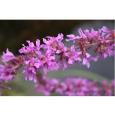 Lythrum salicaria, Purple Loosestrife