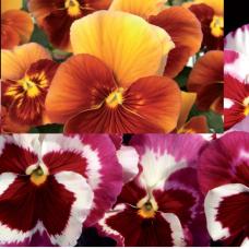 VIOLA WITTROCKIANA F1,Pansy.Desiderio Series: (medium large flower), Desiderio Mixed