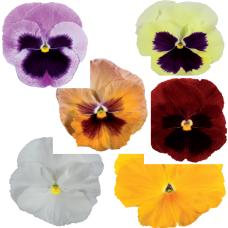VIOLA WITTROCKIANA F1 (Pansy).Italia Series: (extra large flower). Italia Mixed